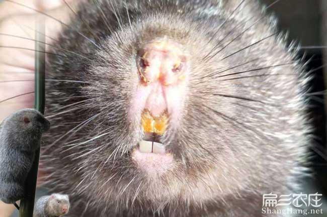 竹鼠白牙问题