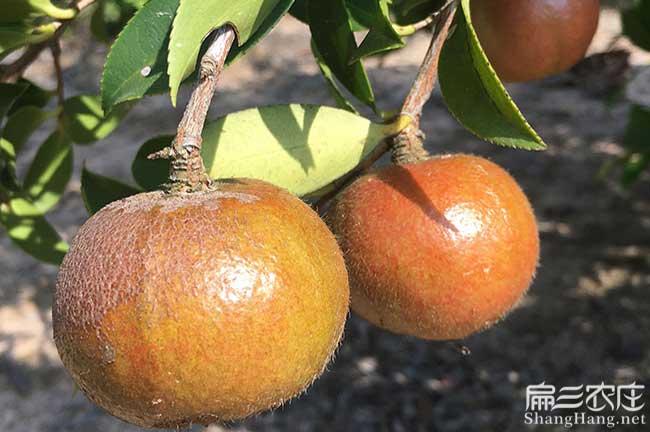 郴州大油茶果子