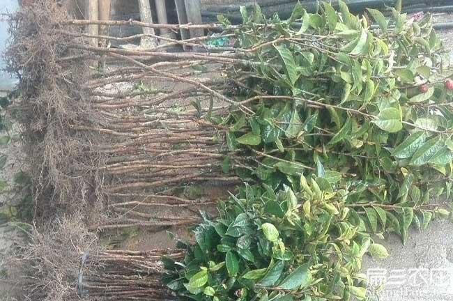 茶籽树种植