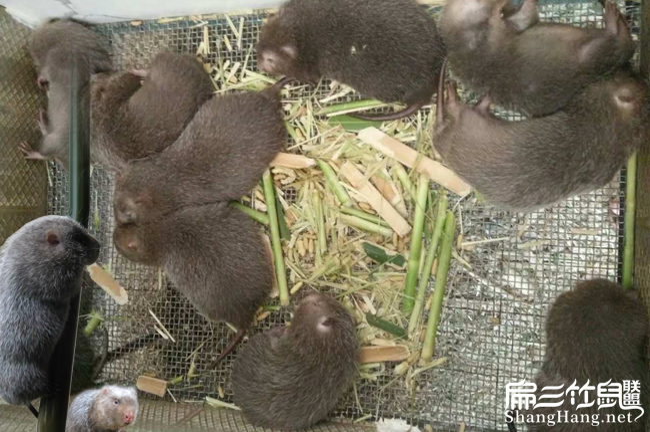 贵州竹鼠养殖技术