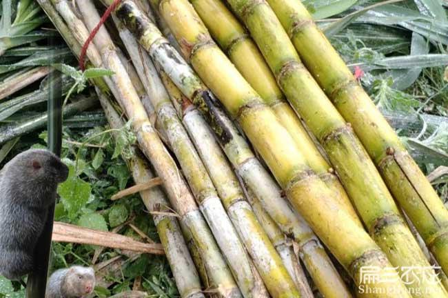 竹鼠吃表皮甘蔗