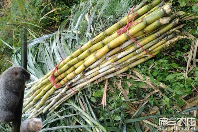 竹鼠养殖甘蔗