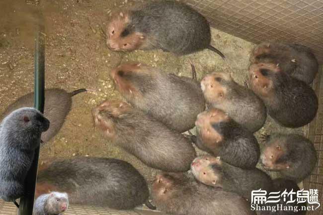 红颊竹鼠市场前景