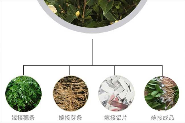 湖南高产油茶苗生产