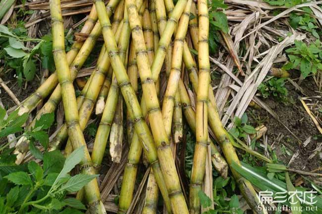 竹鼠吃青皮甘蔗