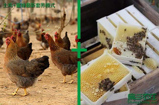土鸡+蜜蜂养殖模式