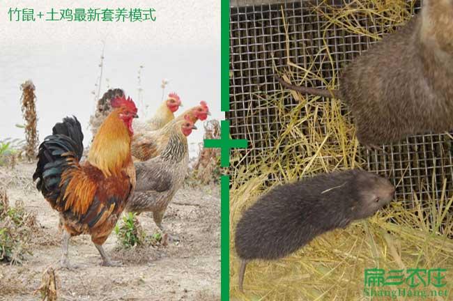 土鸡+竹鼠养殖模式