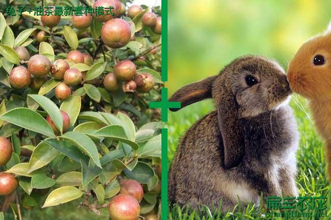 兔子+油茶养殖模式