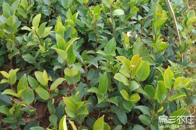 桂林茶籽树苗