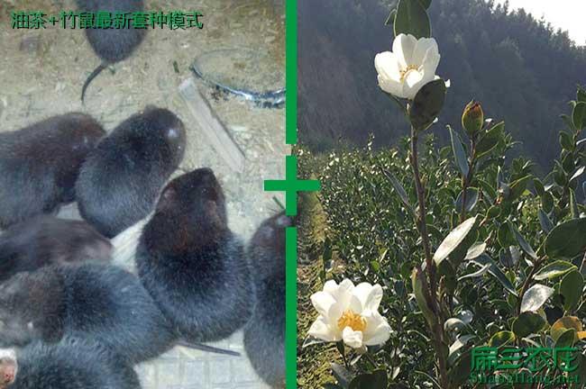 油茶+竹鼠养殖模式