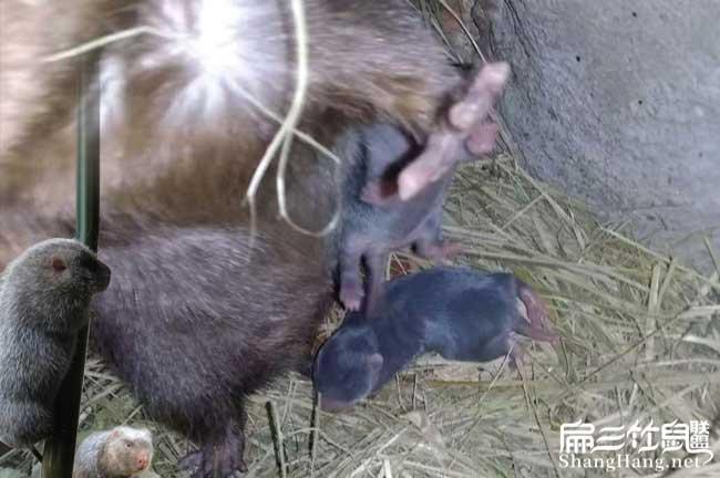中华竹鼠品种