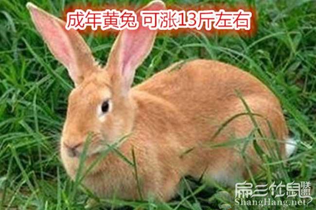 贵州黄毛兔子养殖