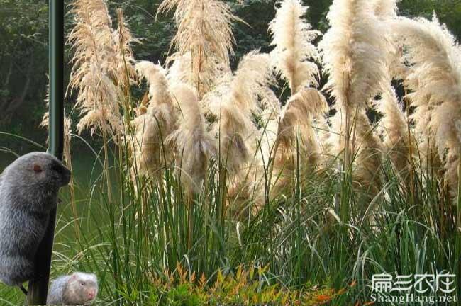 竹鼠茅草根