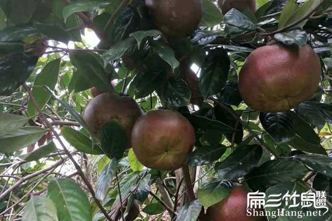 平江茶籽收购