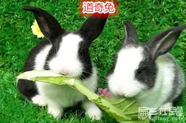 龙里道奇兔子养殖
