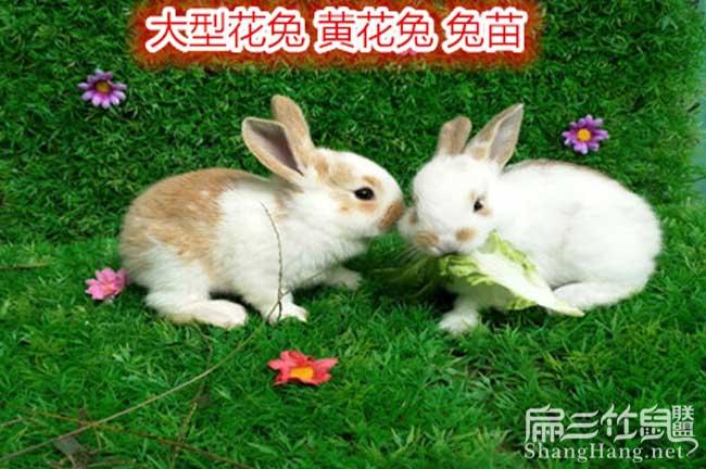 黔南州大型兔子