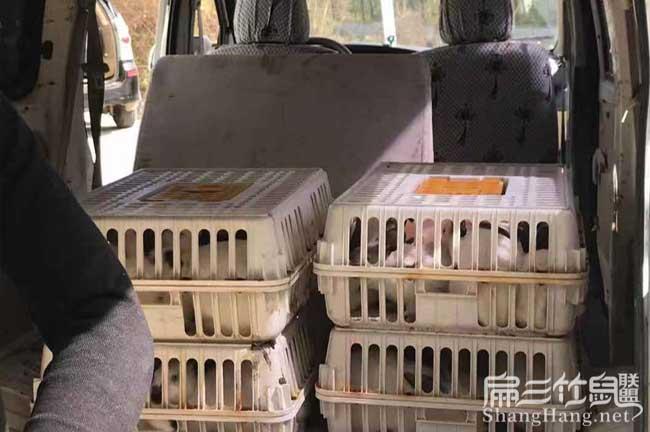 龙里县伊拉兔子种苗批发
