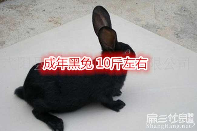 贵州黑兔子养殖