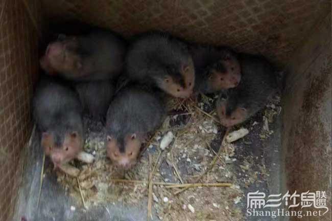 红颊竹鼠养殖
