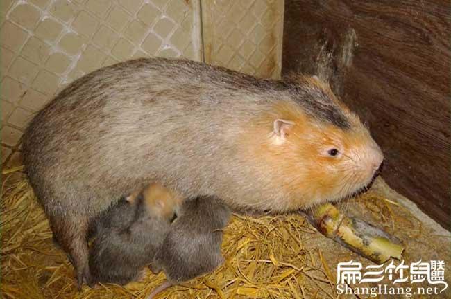 红颊竹鼠喂奶