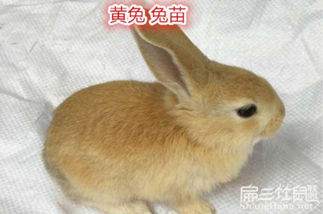 贵州黄兔子批发