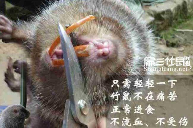 剪竹鼠牙齿