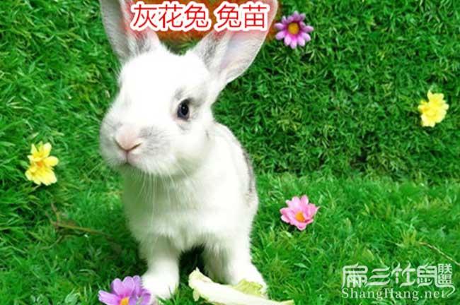 黔南州恢花兔子