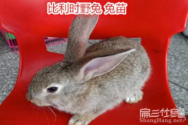 贵州比利时兔种苗批发