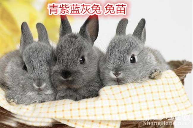 贵州青素蓝恢兔子