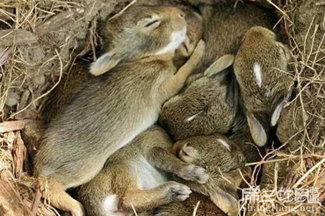 福建灰毛兔