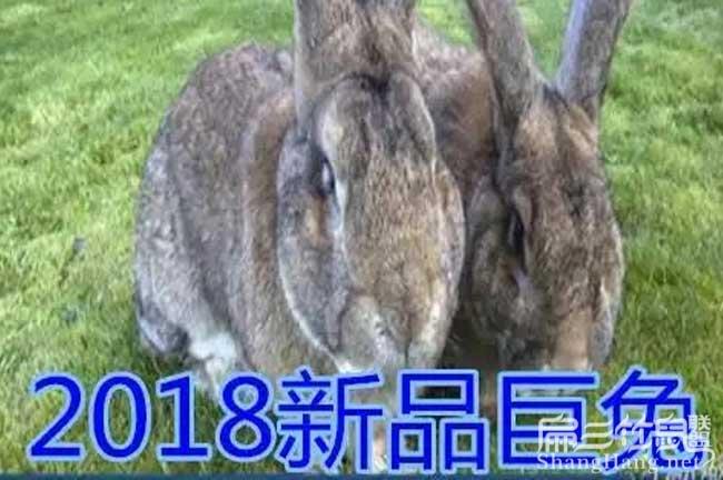 巨型兔种苗