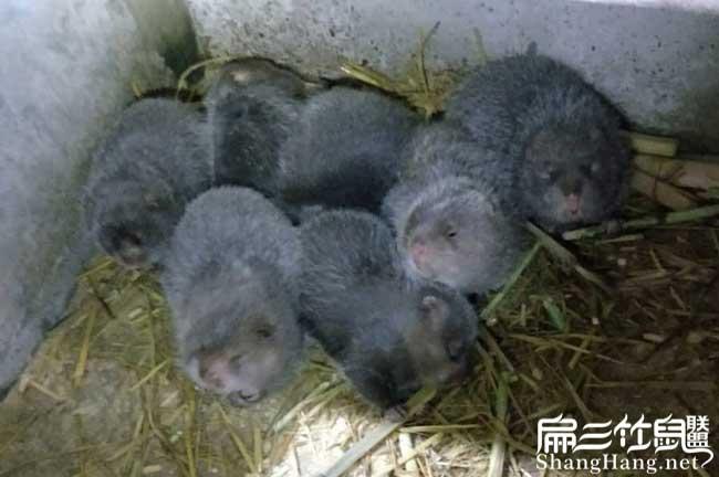 象山竹鼠种苗