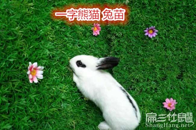 贵州一字兔种价格