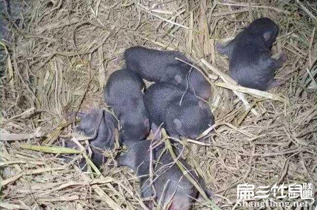 南平竹鼠养殖