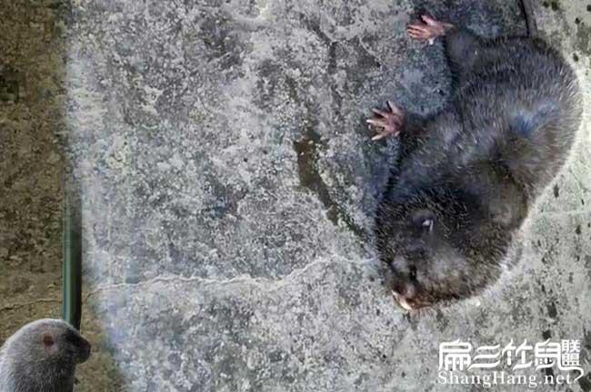 野生竹鼠吃东西