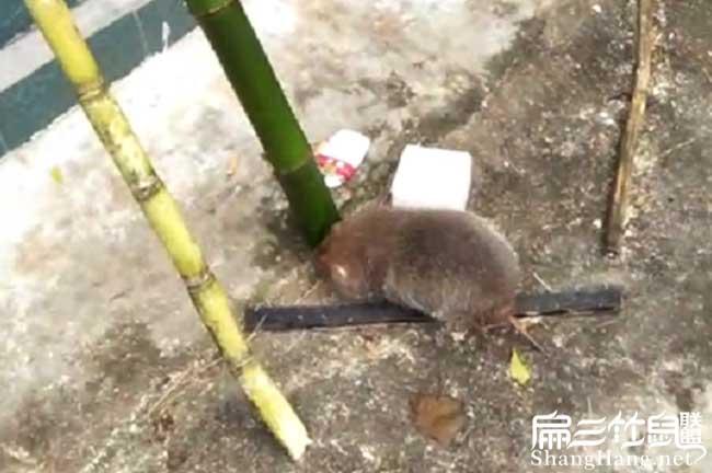 竹鼠吃鸭脚木