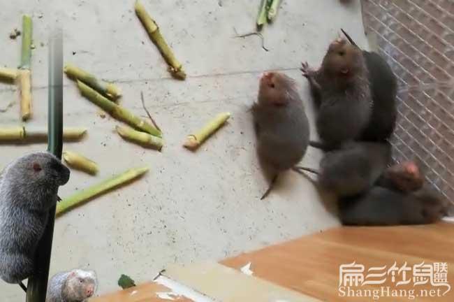 山西竹鼠养殖