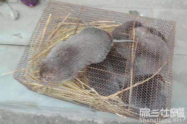 桂林竹鼠基地