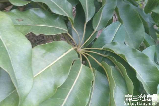 武平鸭脚木种植
