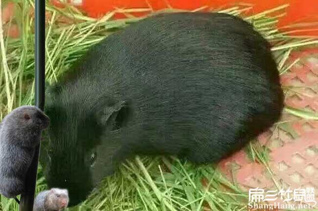 中国黑豚种苗