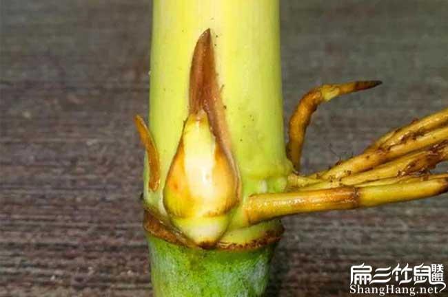 湖南皇竹草种节