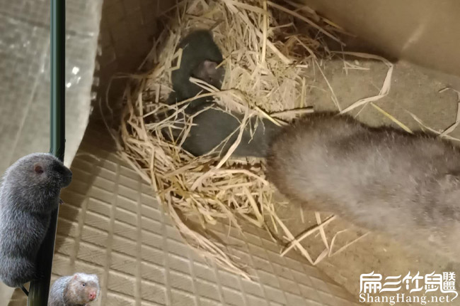 嘉兴竹鼠养殖