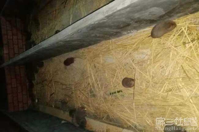 大型竹鼠养殖场