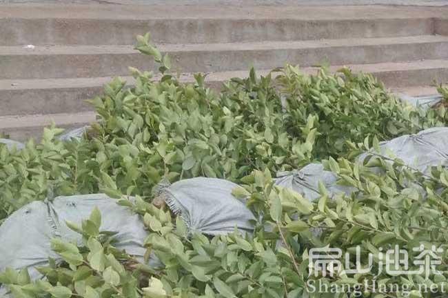 云南高产油茶苗