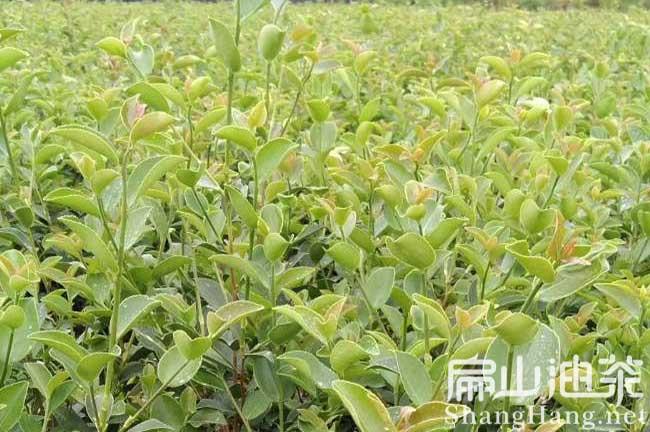 云南最大油茶基地