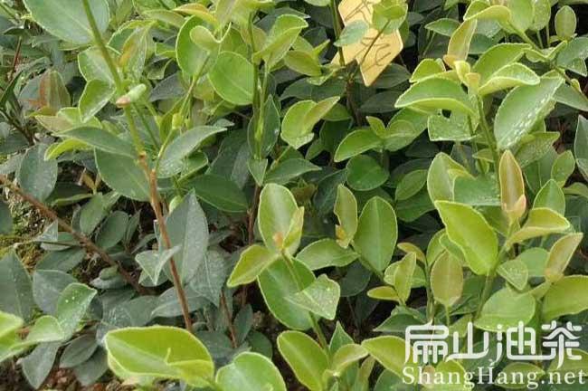 广西大油茶基地