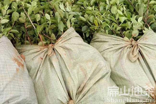 永州油茶种植