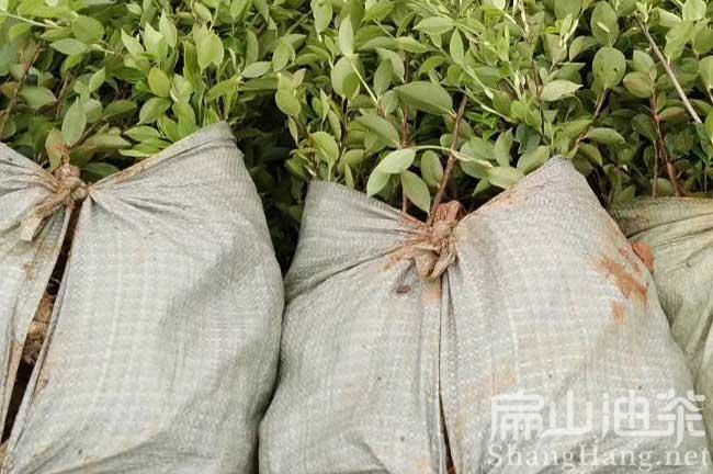 株洲茶树苗批发