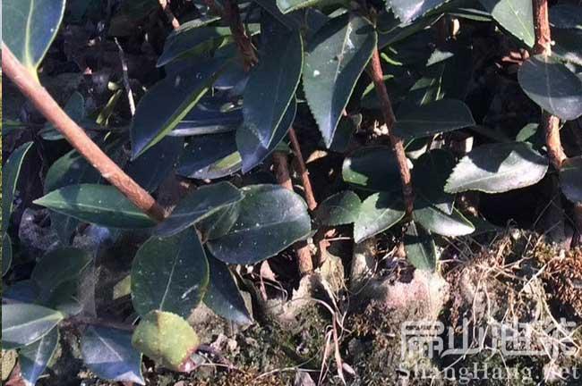 茶籽树种植管理