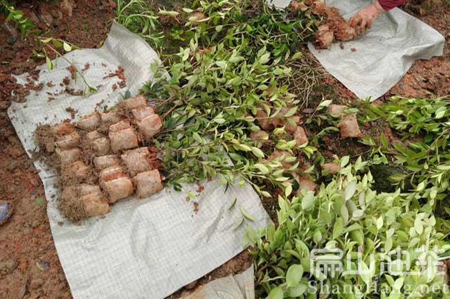 茶籽树育苗技术
